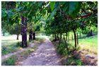 Maulbeerbäume
