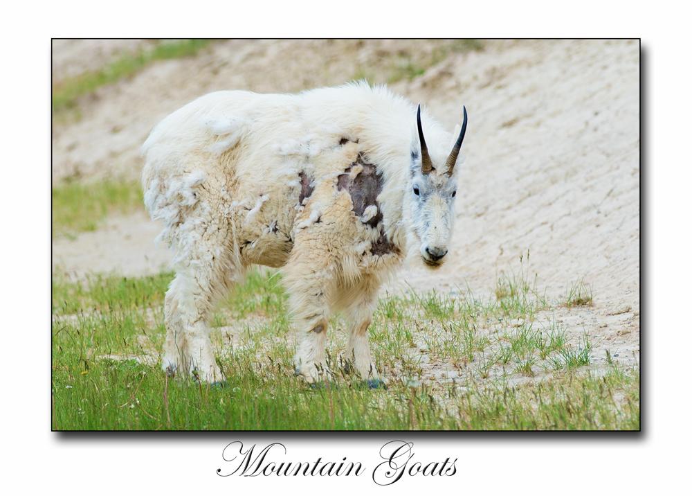 Mauntain Goats