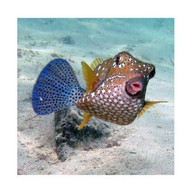 Mauritius Blue Bay - cowfish - Kofferfisch