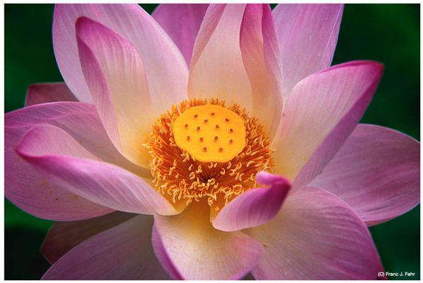 Mauritius - Roter Lotus