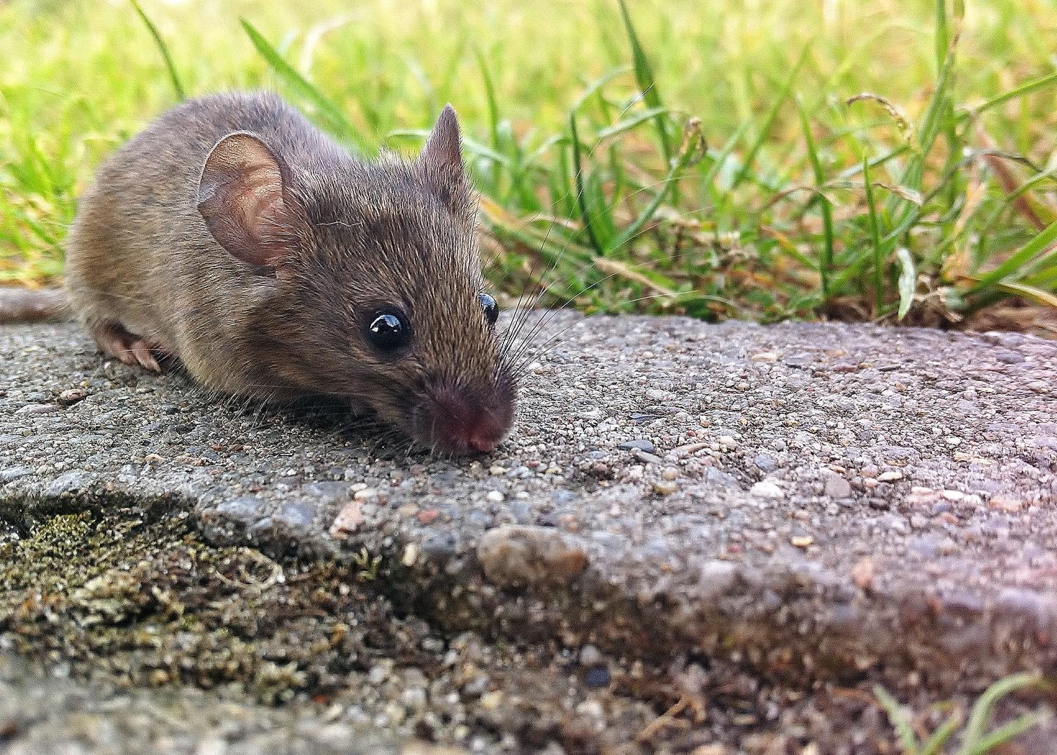 Maus am Wegesrand