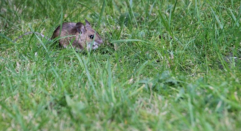Maus auf dem Rasen