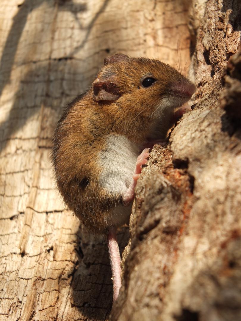 Maus beim Klettern