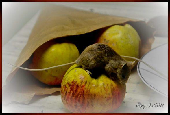 Maus frisst Äpfel