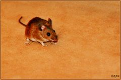 Maus im Haus