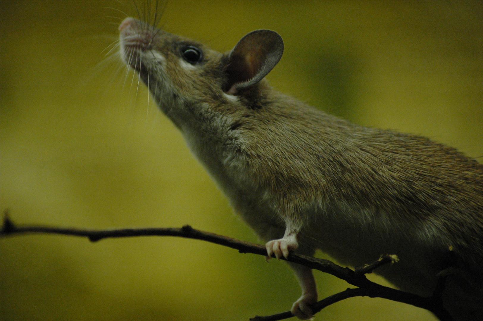 Maus im Zoo