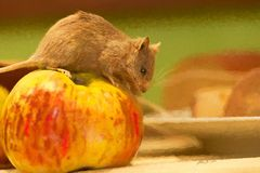 Maus mit Apfel als Gemälde