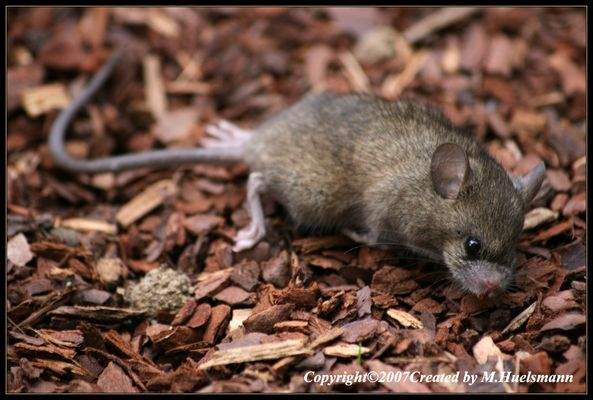 Maus oder Ratte ???
