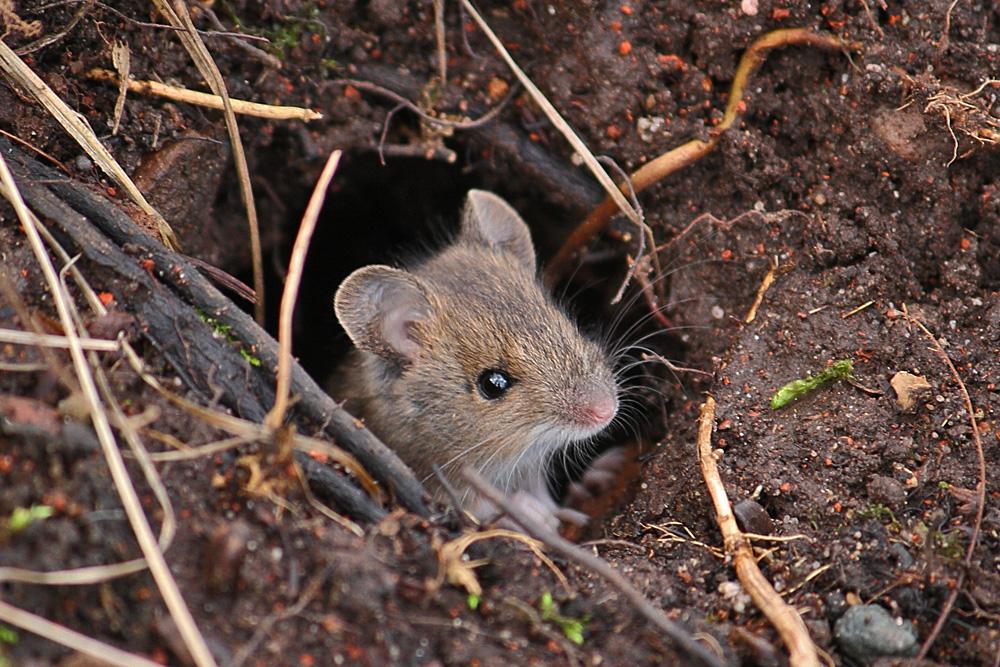 Maus schaut raus