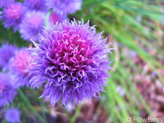 Mauve Floral