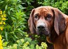 Maximus- Hannoverscher Schweißhund
