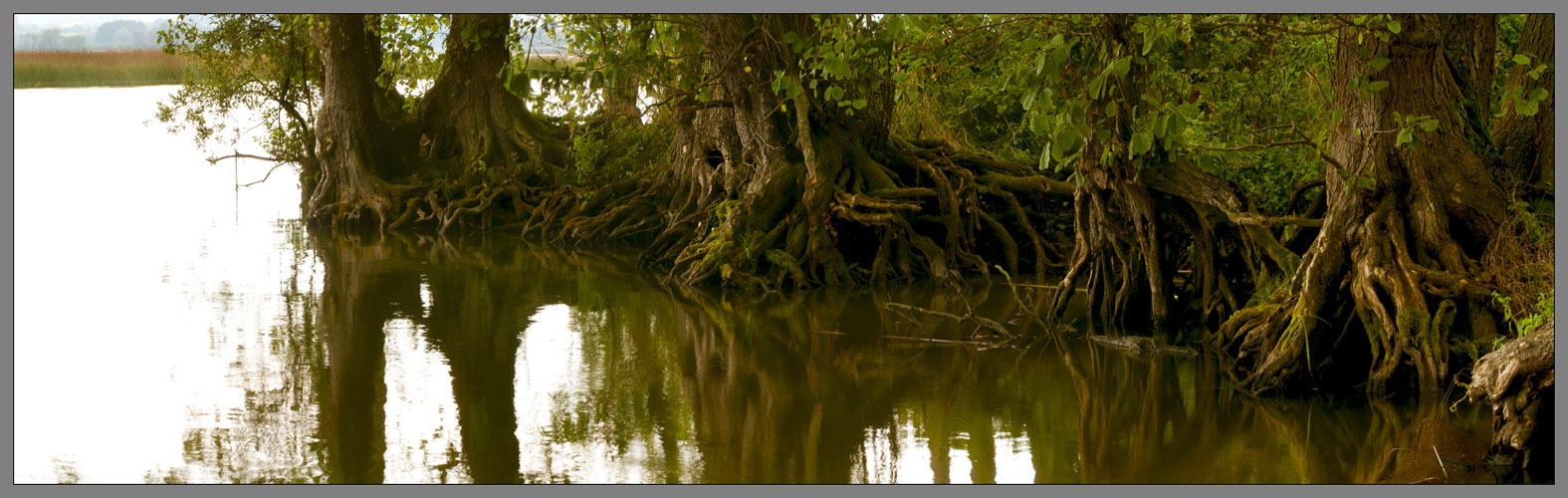 Mc-pomm-Mangroven