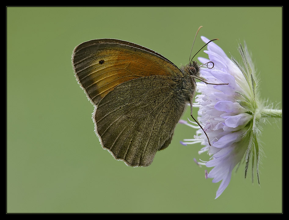 Meadow brown (new version)