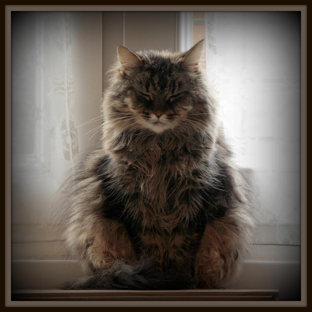 Méditation du Chat .