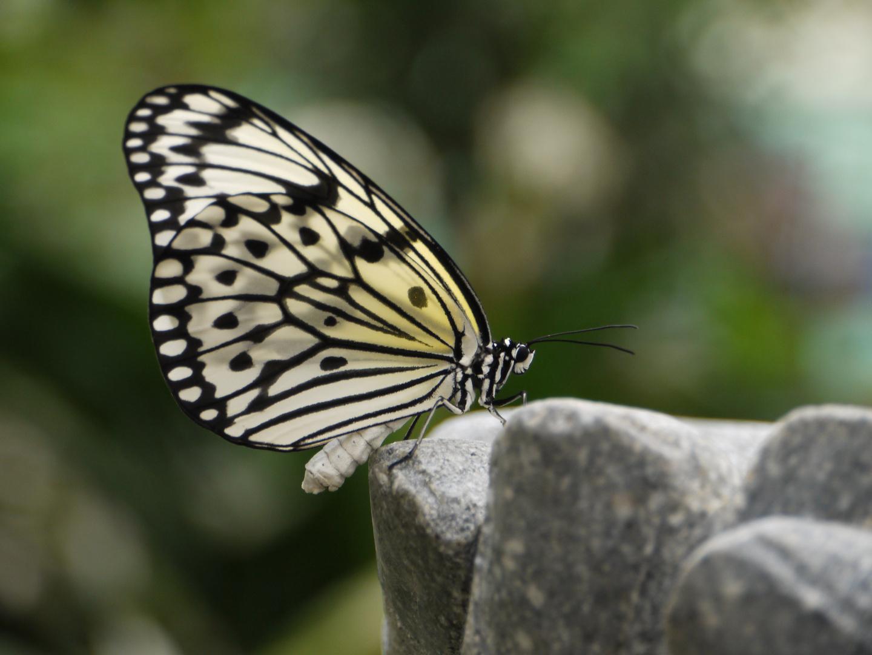 meditierender Schmetterling