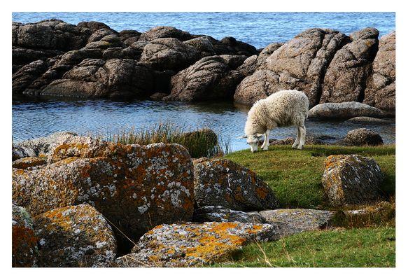 Meer mit Schaf