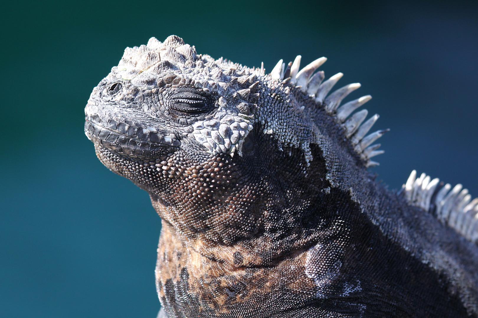 Meerechse - Galapagos - Ecuador