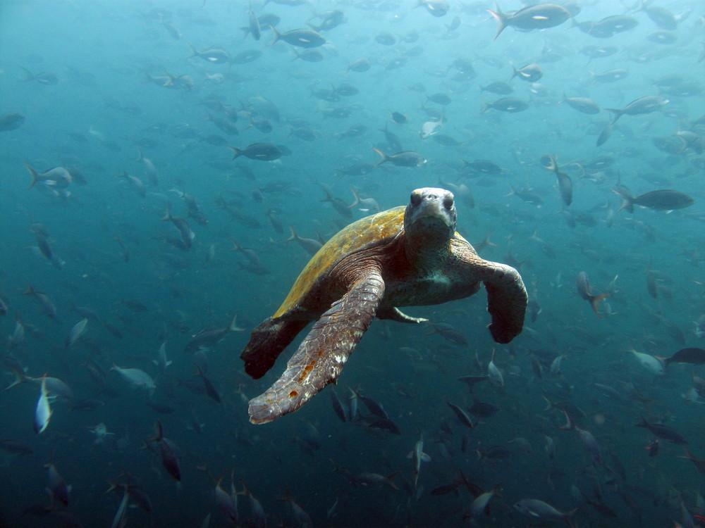 Meeres-Schildkröte auf den Galapagosinseln