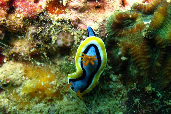 Meeresnacktschnecken