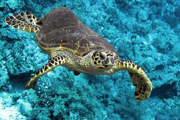 Meeresschildkröte (Cheloniidae)