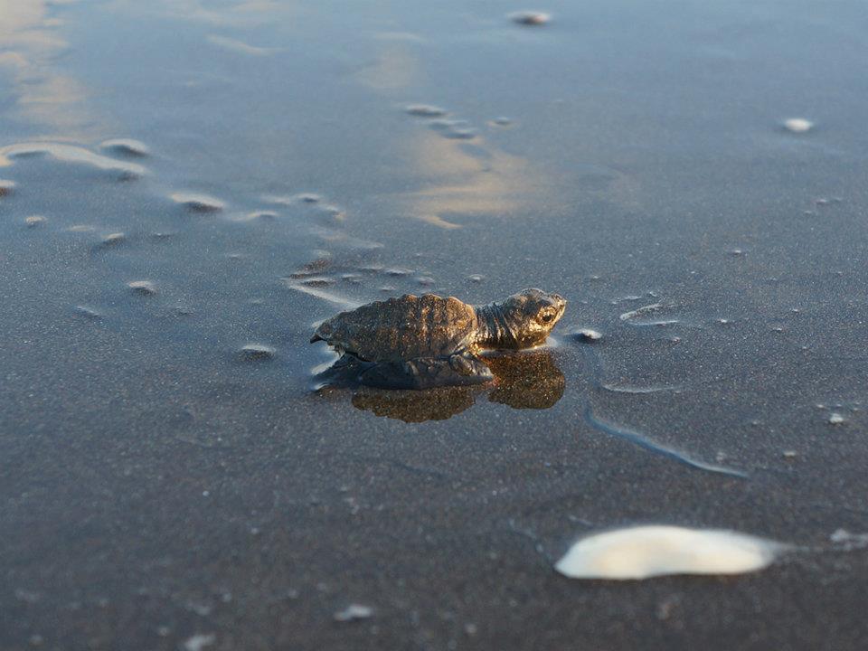 Meeresschildkröte frisch geschlüpft