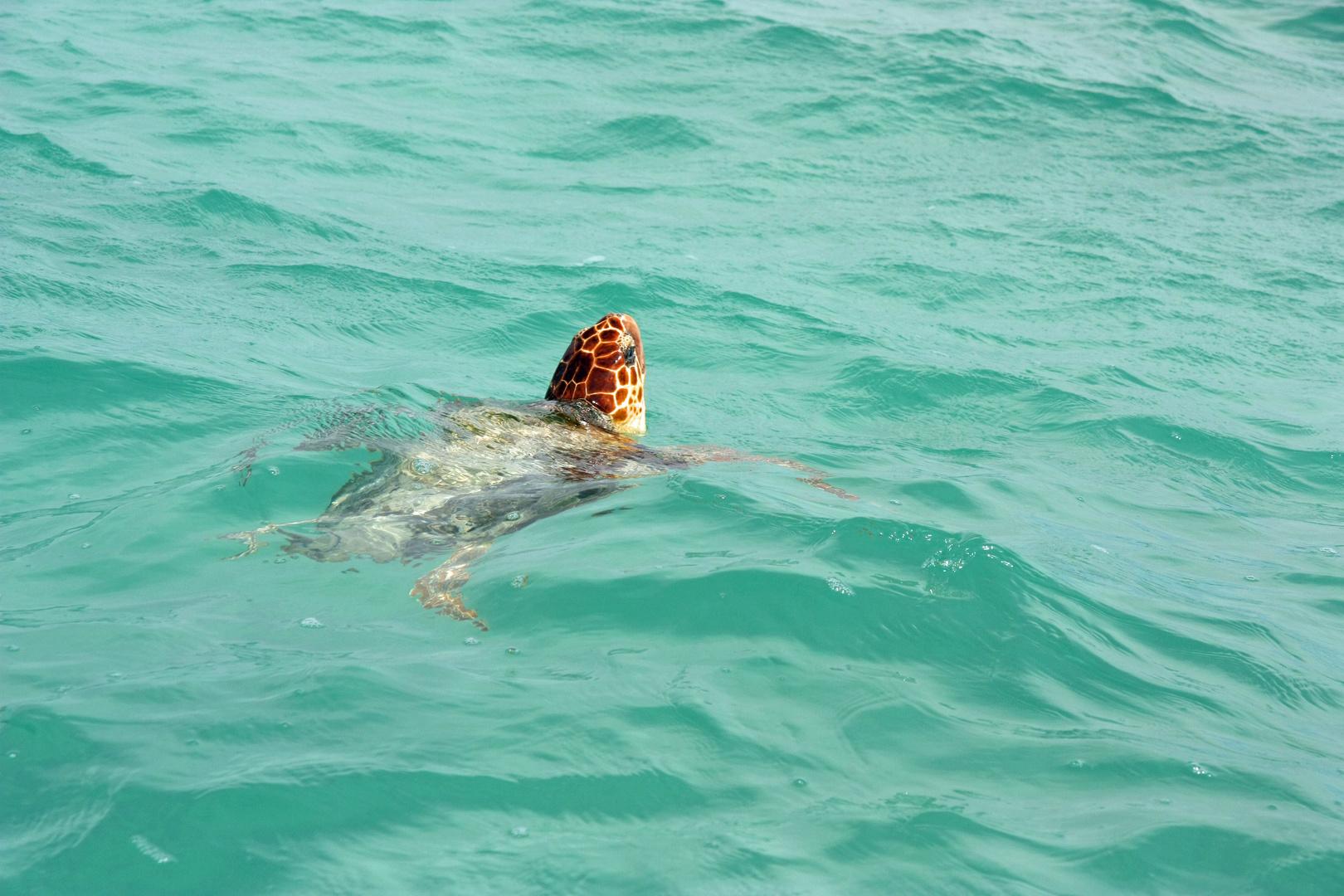 Meeresschildkröte in Mexico Sian Ka'an