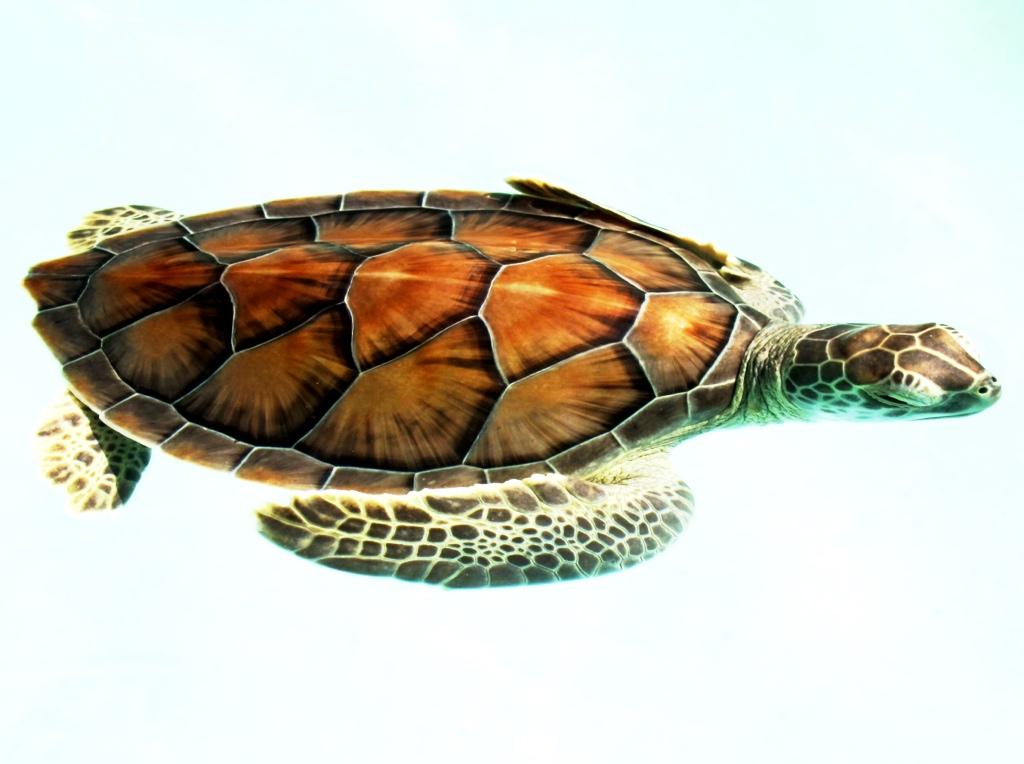 Meeresschildkröte, XCaret, Mexico