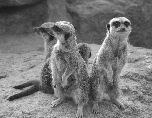 meerkats together