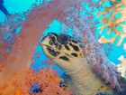 Meerschildkröte beim fressen