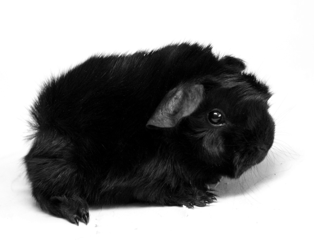 Meerschweinbaby, Rasse: Peruaner