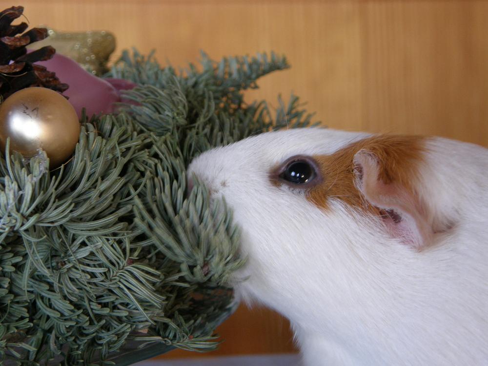 Meerschweinchen am 1. Advent
