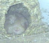 """Meerschweinchen """"Frechi"""" schläft tief und fest"""