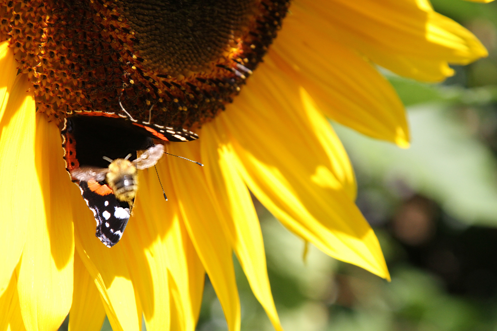 meeting on a sun flower