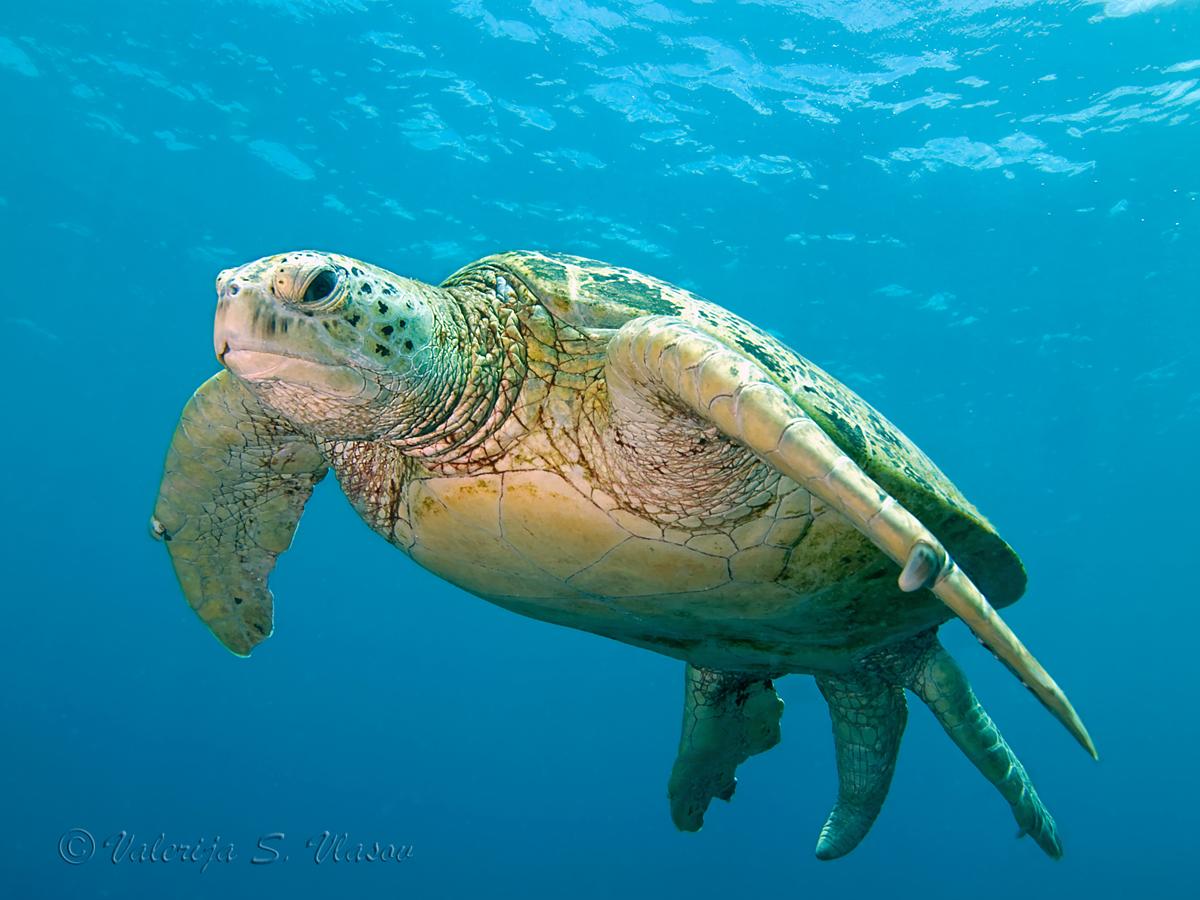 Mega Turtle