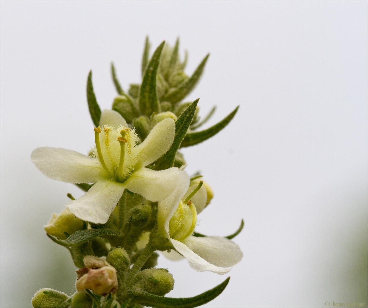 Mehlige Königskerze (Verbascum lychnitis) .....