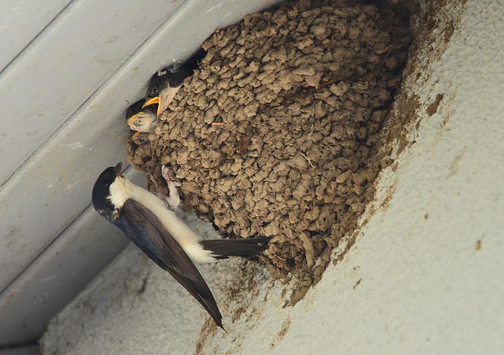 Mehlschwalbe- Fütterung a
