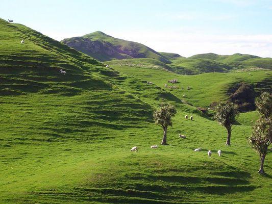Mehr Schafe als Bewohner - Neuseeland