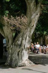 Mehrere hundert Jahre alter Ficus