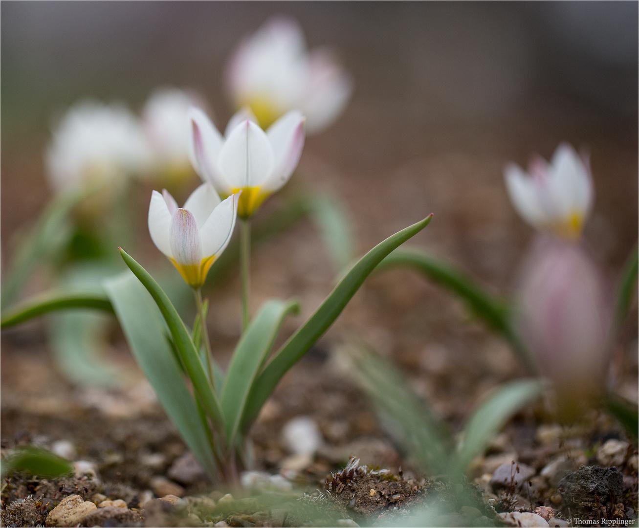 Mehrfarbige Tulpe (Tulipa polychroma).