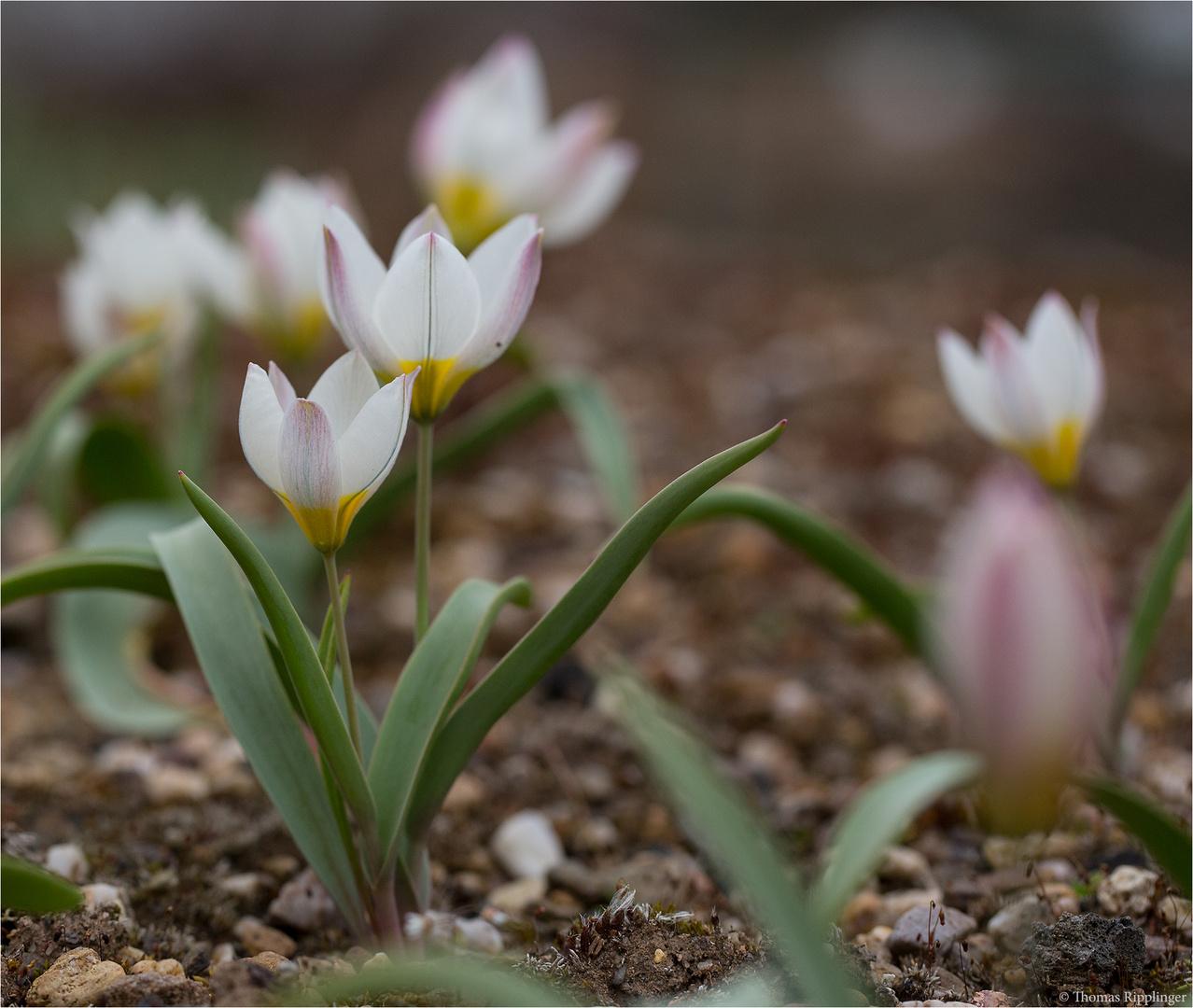 Mehrfarbige Tulpe (Tulipa polychroma)