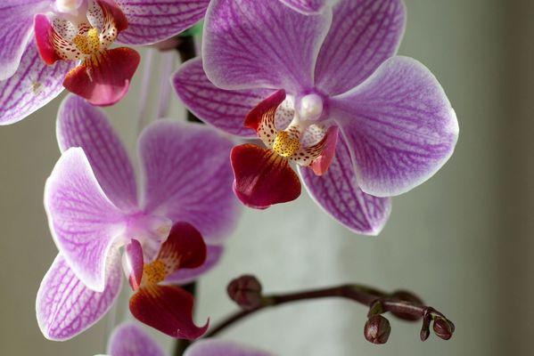 Mehrjährige Orchideen