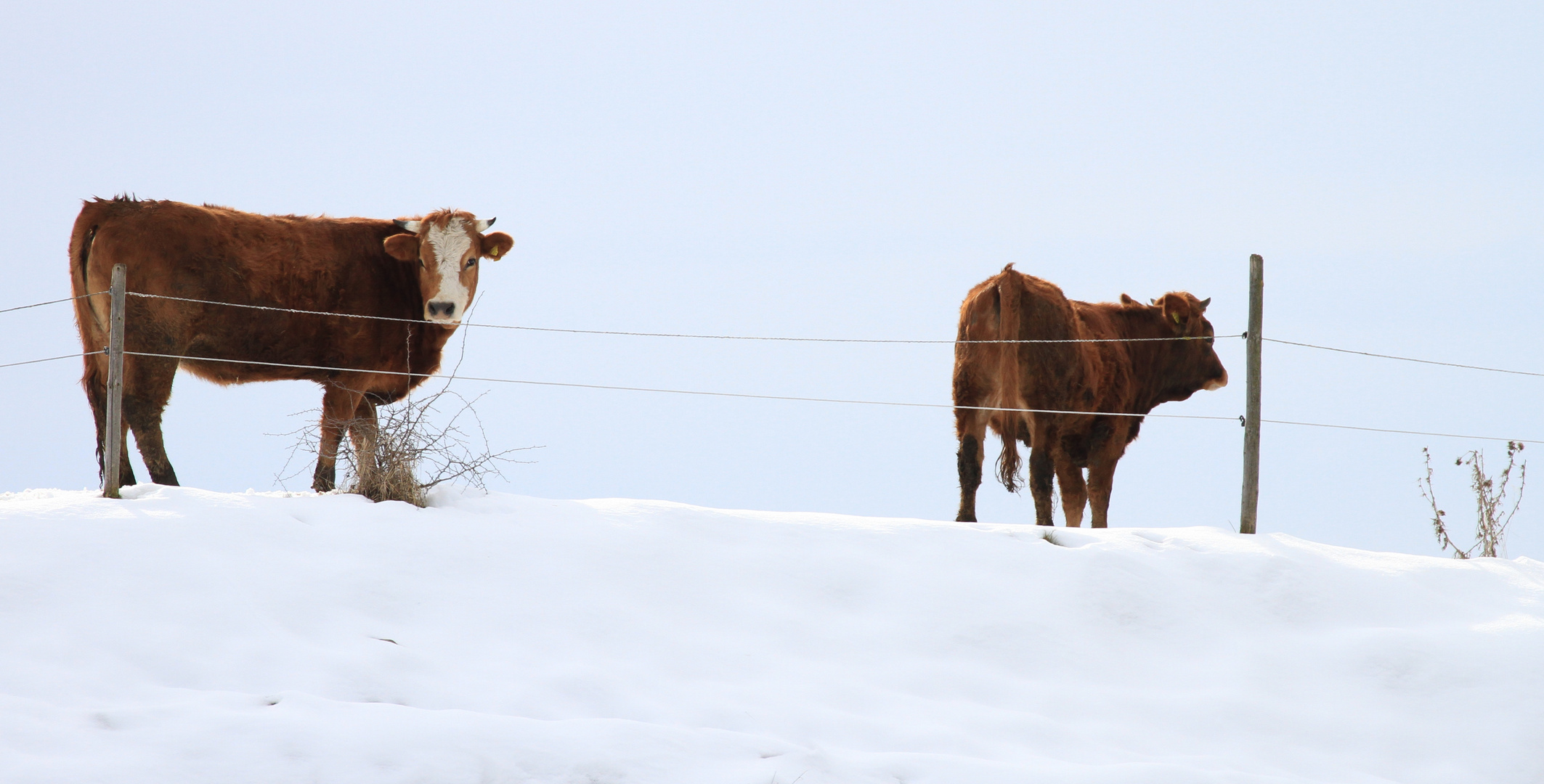 Mei so guad schmeckt der Schnee a wieda ned, muhh.....
