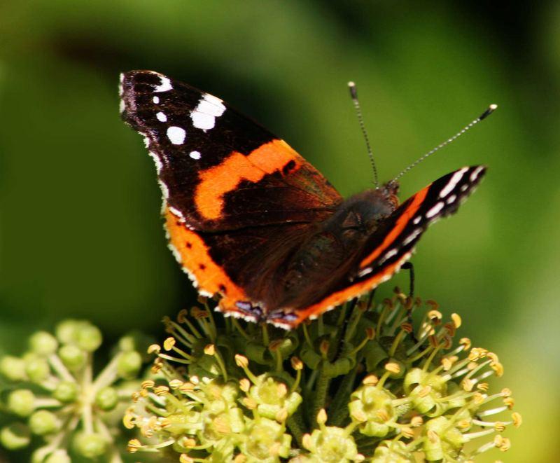 Mein 1. Schmetterling