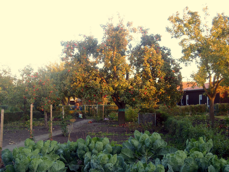 mein Albrechtsapfelbaum .....