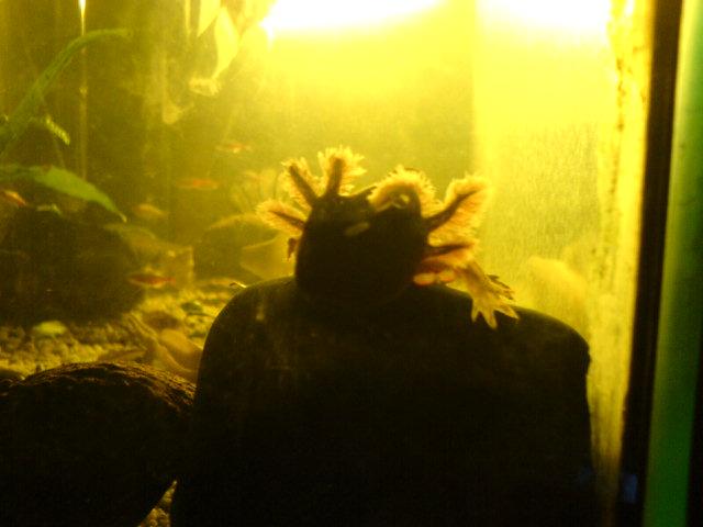 mein Axolotl von vorn