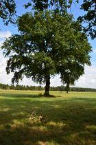 Mein Baum im August