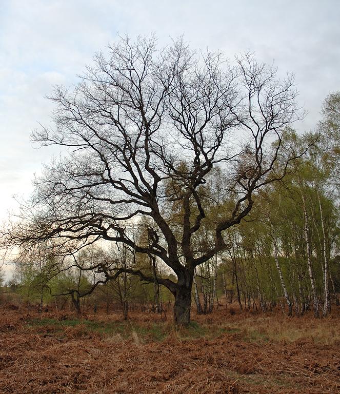 """Mein"" Baum-knorrig, mächtig, alt"