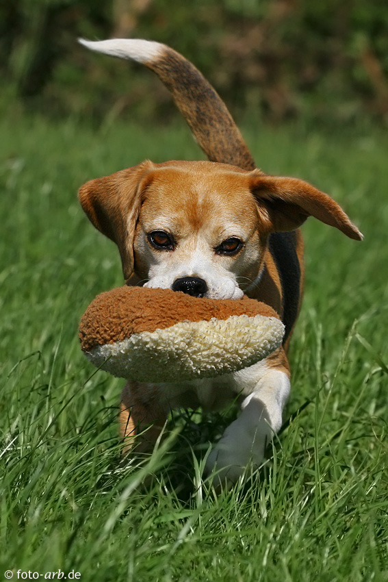 mein Beagletier