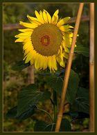 mein Beitrag zum Thema: Sonnenblume
