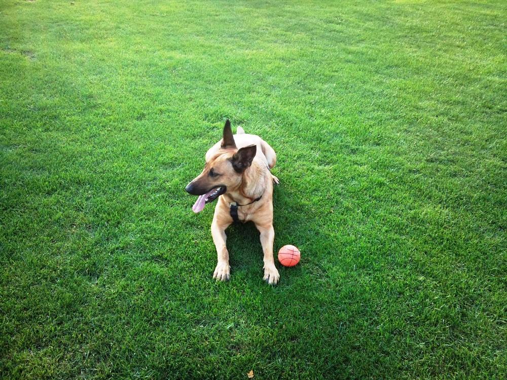Mein Belgischer Schäferhund Skaja